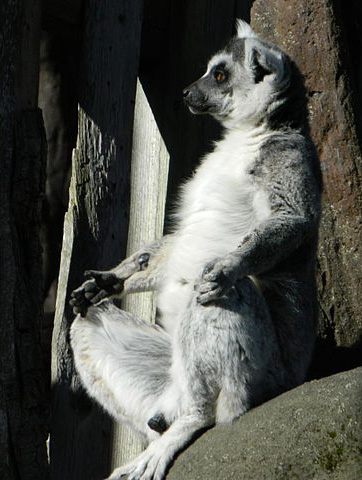 Lemur in meditative pose